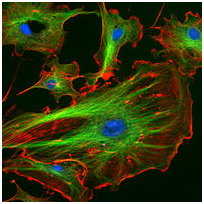 Picture using immunofluorescence